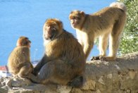 Gibraltar Apes – World Famous