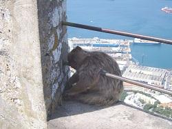 Gibraltar Ape Sleeping